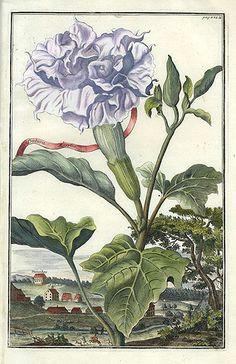fruit prints from volckhamer 1708 datura vintage botanical prints botanical drawings antique prints
