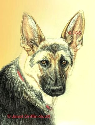 tute german shepherd dog drawing in colored pencil