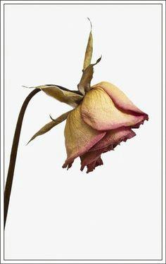 flower sketches rose sketch botanical flowers botanical art dying flowers dry