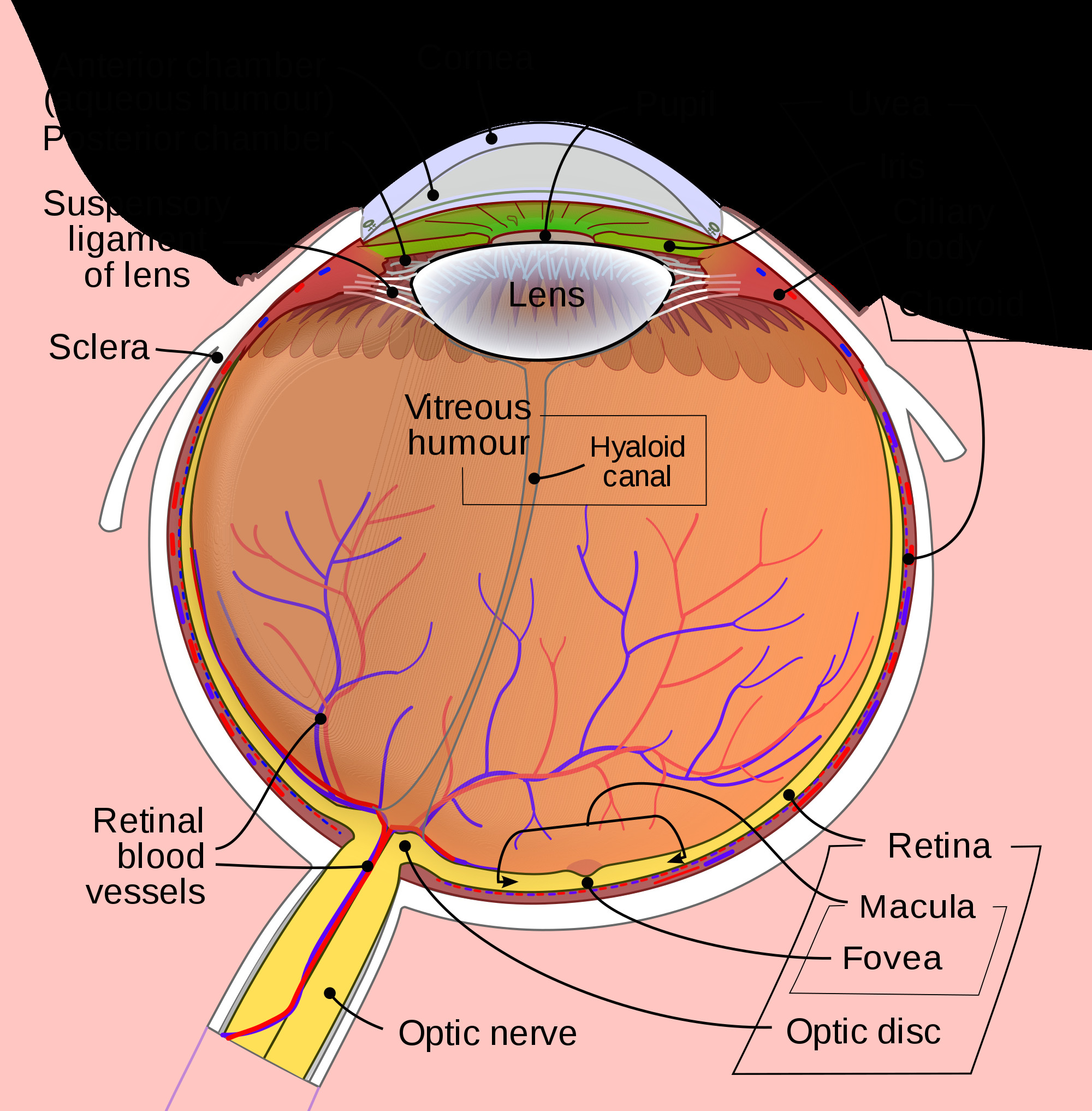 schematic diagram of the human eye en svg