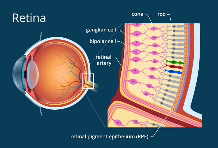 illustration of the retina of the eye