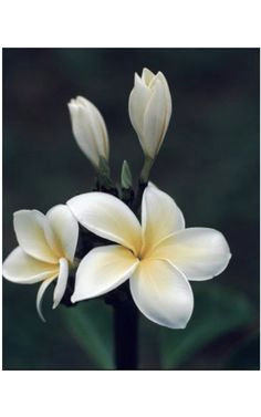 the fragrant champa finds itself in perfumes and incense oils whereflowersbloom plumeria flowers