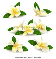 several realistic white yellow plumeria frangipani flowers with green leaves isolated on white