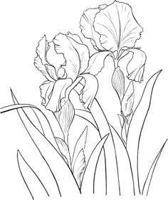 click to see printable version of garden german iris or iris germanica coloring page iris drawing