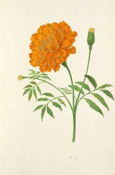 tagetes marigold tattoo marigold flower botanical drawings botanical prints botanical illustration