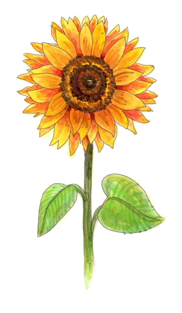 Drawing Of Flowers with Poster Colours Drawing A Sunflower Drawing Inspiration Pinterest Drawings