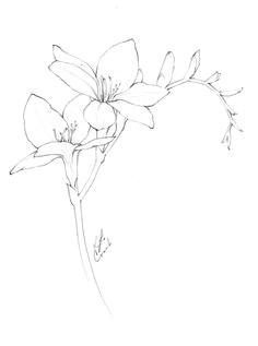 flower drawings freesia