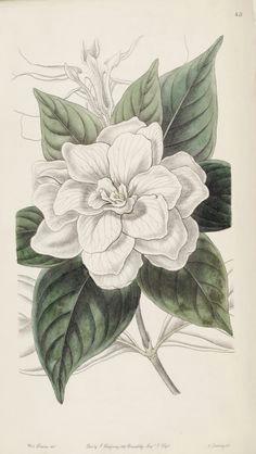 gardenia jasminoides var fortuniana as gardenia florida var fortuniana
