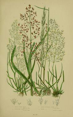 Drawing Of Grass Flowers 193 Best Flowering Plants Grasses Sedges Ferns Images