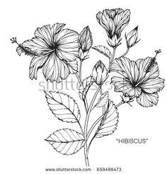 hibiscus flower drawing vector image on vectorstock