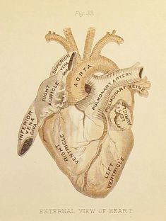 anatomical heart i love this for a tattoo i love anatomy and it