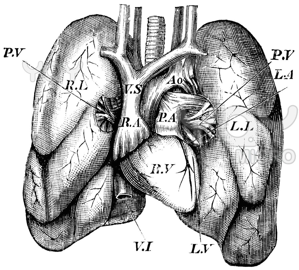 antique vintage lungs anatomy medical illustration
