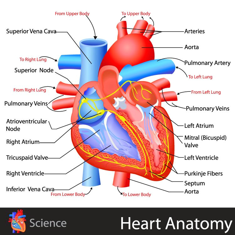 heart anatomy click for the free study guide on the circulatory system