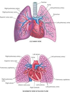 heart lung connections i m beginning to love the site of the merck manual home health book it has tons of great resources on medical and nursing topics