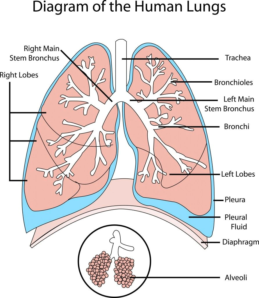 lungs diagram how do we breathe lungs and pleura interactive biology by leslie