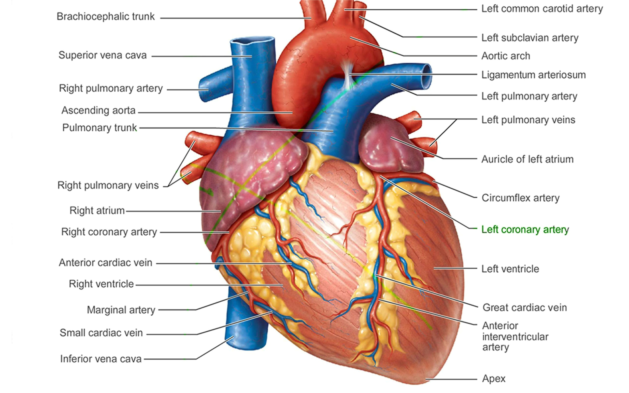 Drawing Of Heart and Lungs Pictures Of Human Heart Anatomy Anatomy Of the Human Heart 4k Ultra