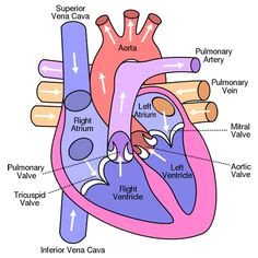 heart valves diagram case study mechanical heart valves revision notes science revision