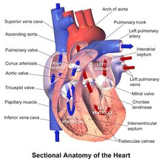 human cardiac anatomy