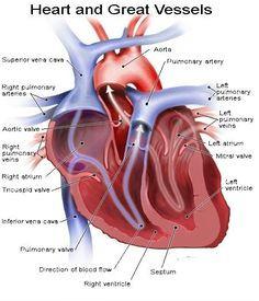 dc3715cfd86d7c43327e3872ab4c484a jpg 450a 525 heart anatomy body anatomy human anatomy