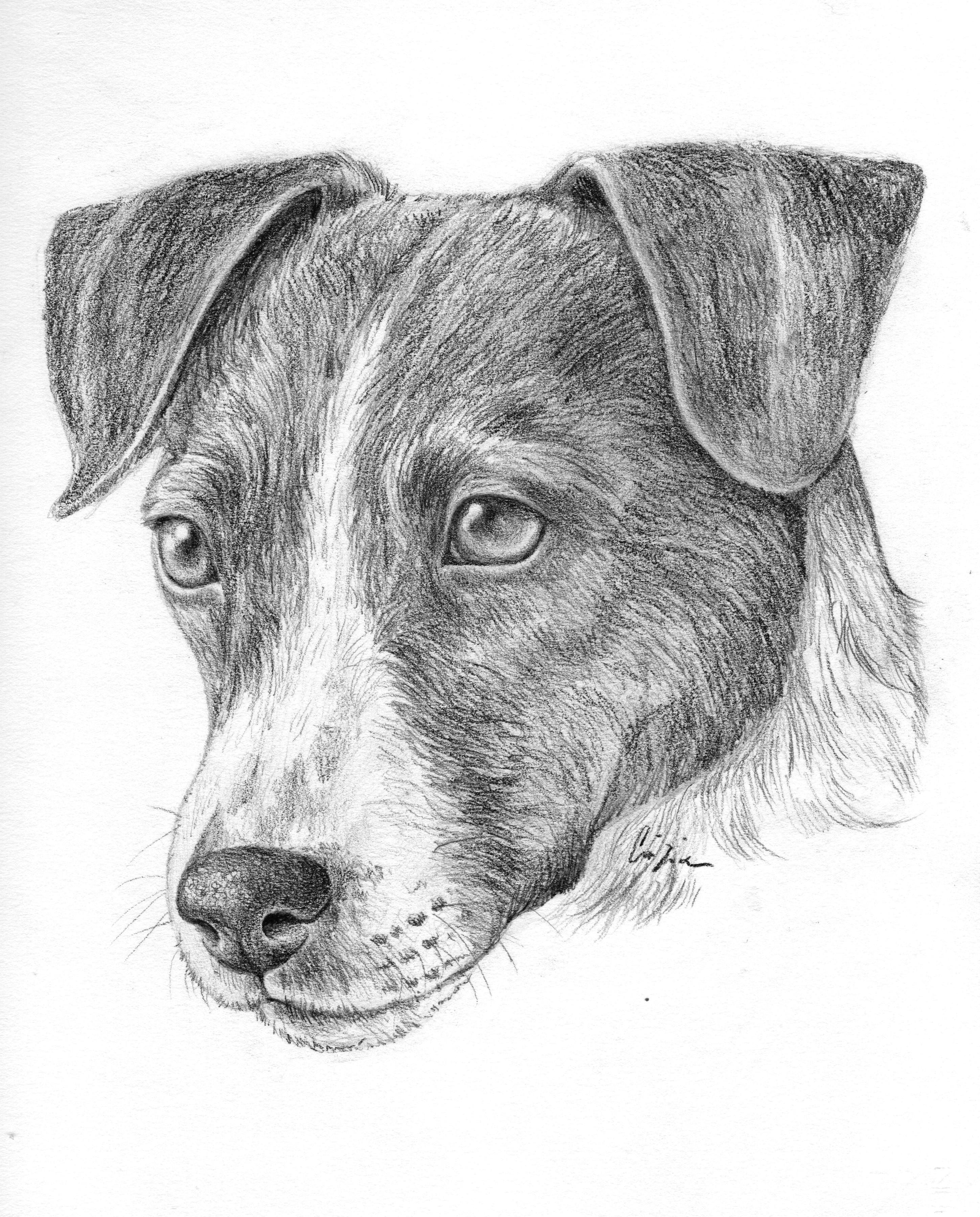 pin von alissa auf hunde pinterest drawings russell terrier und terrier