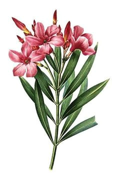 Drawing Of Kaner Flower 22 Best Oleander Tattoo Designs Images Design Tattoos Tattoo