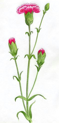 learn to draw carnation step by step tutorial easy flower drawings easy drawings