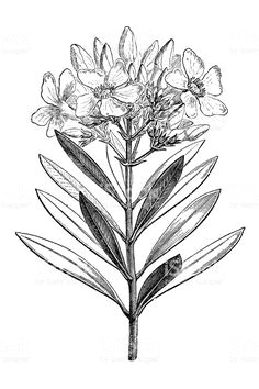 illustration of a nerium oleander