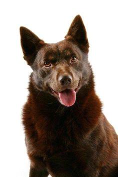 look at me australian kelpie australian dog breeds australian cattle dog