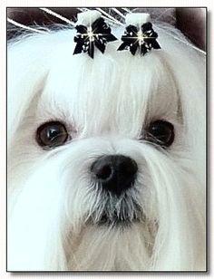 maltese jch absolute flash white world dog bows maltese dogs anna grace
