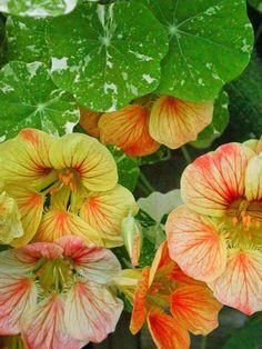 garden nasturtiums