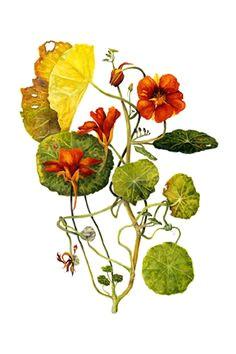Drawing Of Nasturtium Flowers 539 Best Nasturtium Images In 2019 Flower Art Dibujo Drawings