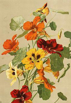 ellen fisher nasturtiums late 19th century