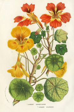 louis van houtte 1858 vintage botanical prints botanical drawings antique prints botanical flowers