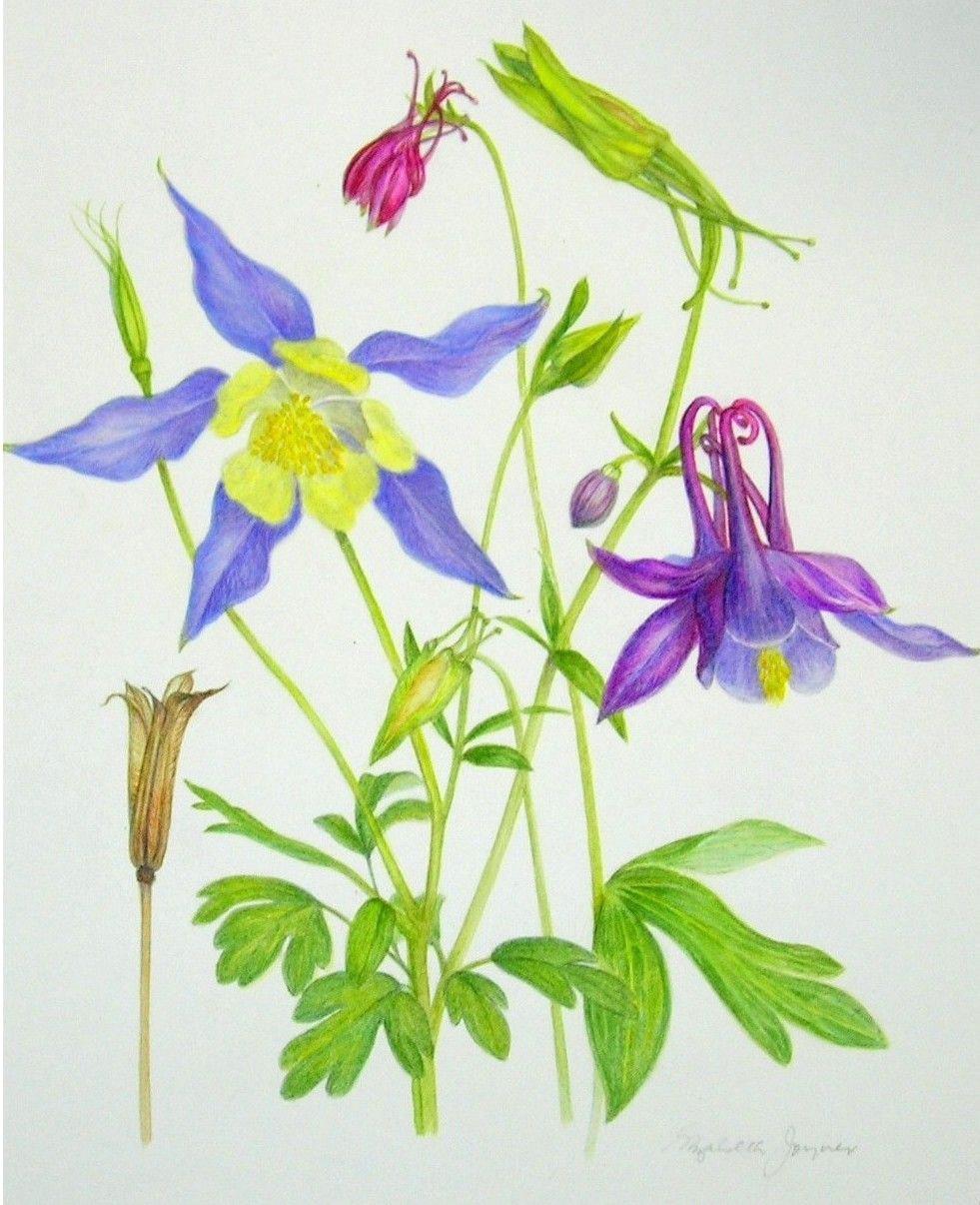 columbine colorado state flower