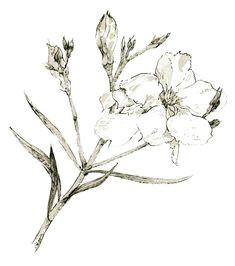 botanical illustration limited edition giclee print botanical drawings botanical illustration pen illustration botanical