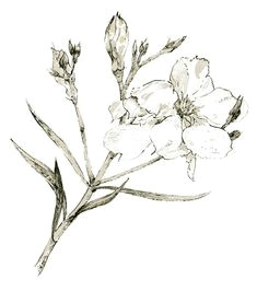 Drawing Of Oleander Flower 22 Best Oleander Tattoo Designs Images Design Tattoos Tattoo