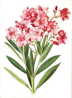 1972 vintage oleander print pink flowers by frenchvintageprints vintage flower prints vintage flowers pink