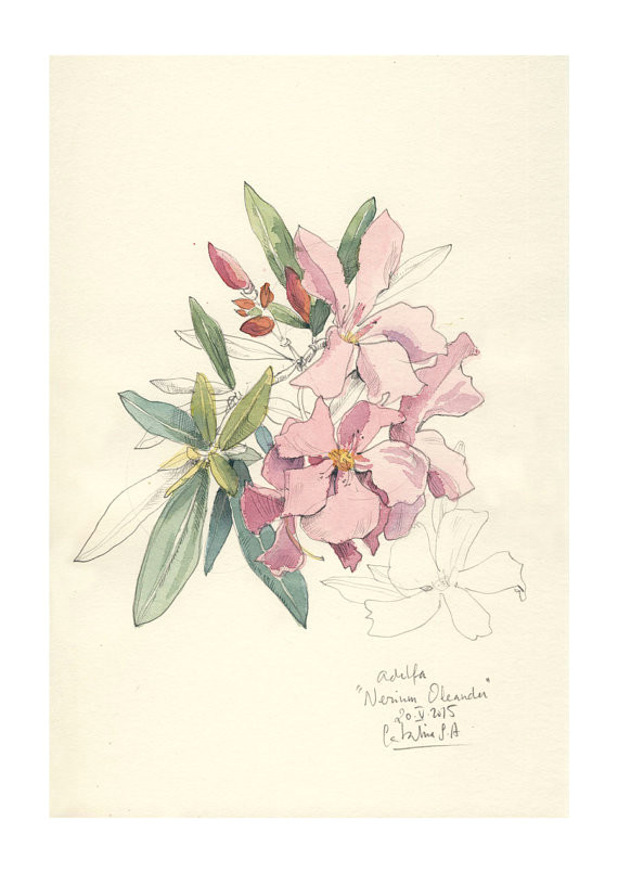 Drawing Of Oleander Flower Nerium Oleander Watercolor Pencil Drawing Pink Flowers Print