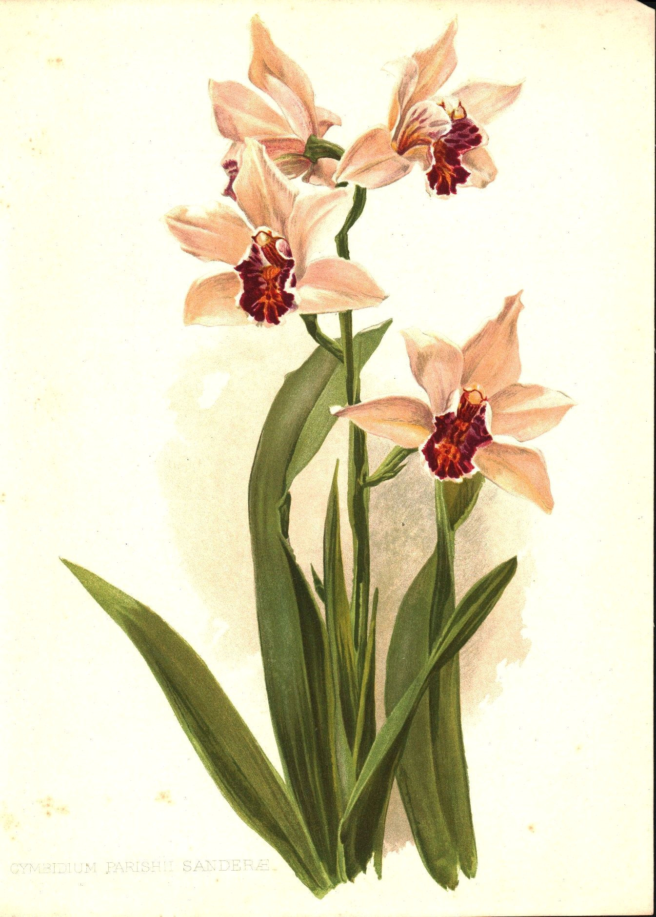 sander s cymbidium orchid 1905 henry moon botanical flower print
