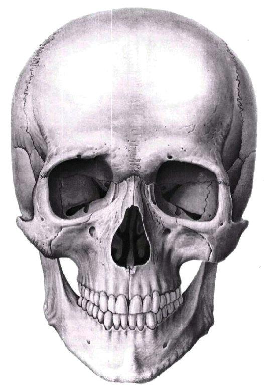 human anatomy anatomy drawing anatomy study skull reference drawing reference sculpture