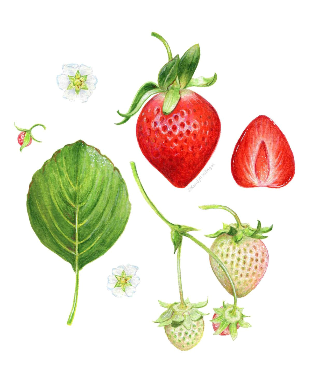 strawberry anatomy botanical illustration by kendyllhillegas