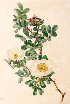 bracteata by alfred william parsons for ellen willmott s the genus rosa pub ekaterina a wild roses