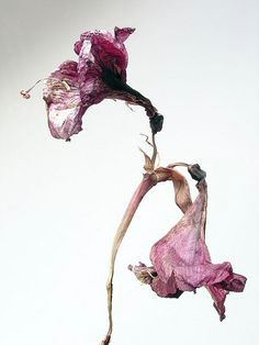 amaryllis 5 dried flowerswilted