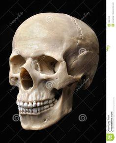 human skull model face anatomy skull anatomy human anatomy anatomy study skull