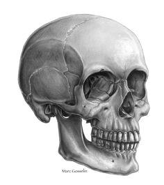 interview with marc gosselin anatomy studyanatomy referenceanatomy drawingskull side viewskull