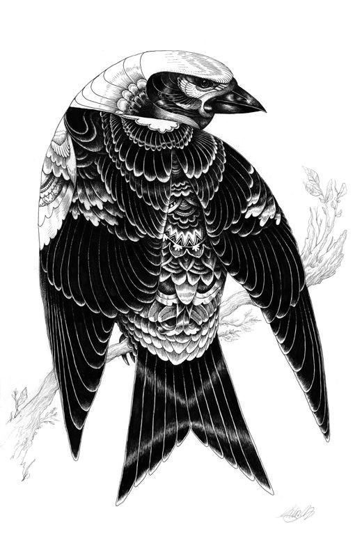 bird illustration by iain macarthur black and white drawing black and white illustration owl