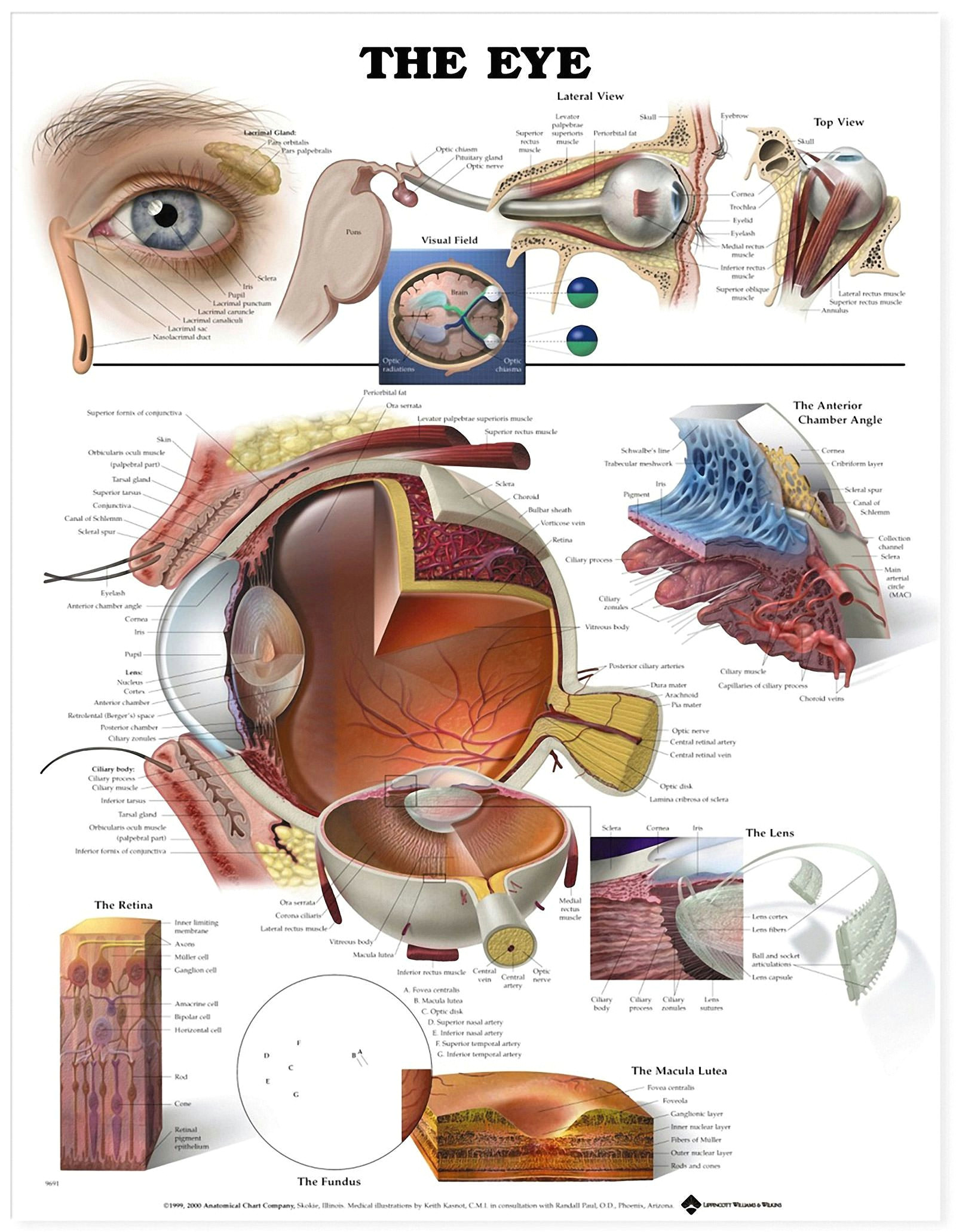 according to research consuming a vitamin d rich diet along with the nutrients methionine and betaine could help lower age related macular degeneration