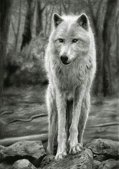 white wolf print of realistic pencil drawing art forest background fine print wolf