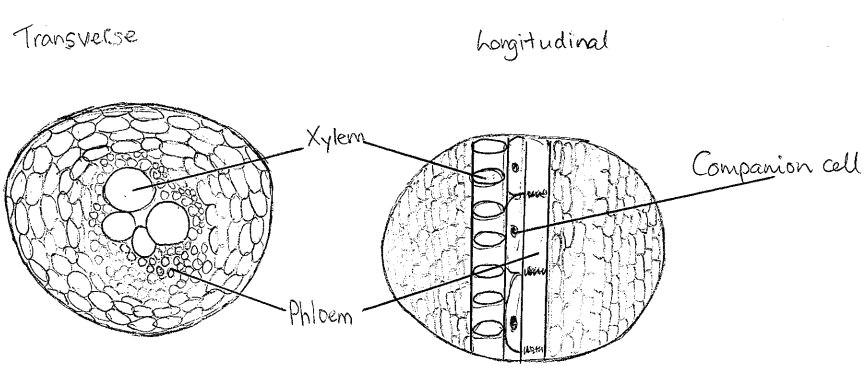 xylem and phloem diagrams 2 12 jpg