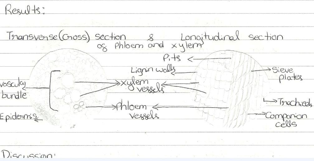 Drawing Xylem and Phloem Drawing Xylem Phloem